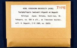 taxiphyllopsis_iwatsukii1-1m.jpg