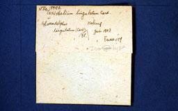 taxitheliumlingulatum2m.jpg