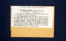 tortulacuneifolia1m.jpg