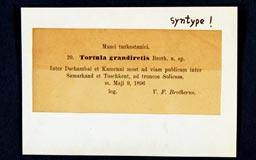 tortula_grandiretis2m.jpg