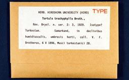 tortula_trachyphylla1m.jpg