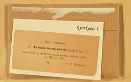 tortula_trachyphylla2m.jpg