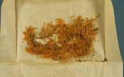 trachypodopsis_crispatula3m.jpg
