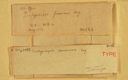 trachypodopsis_formosana2m.jpg