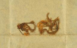 trachypodopsis_formosana3m.jpg