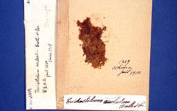trichosteleumaculeatum2m.jpg
