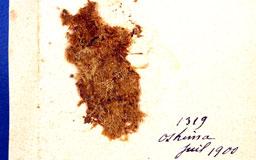 trichosteleumaculeatum3m.jpg