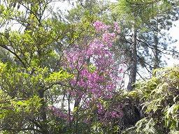 RhododendronRreticulatumR0015870HTMiyajima20080411M.jpg