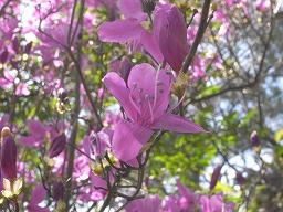 RhododendronRreticulatumR0015874HTMiyajima20080411M.jpg