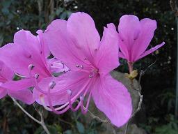 RhododendronRreticulatumR0015905HTMiyajima20080411M.jpg