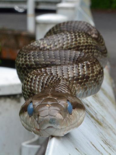 アオダイショウヘビ